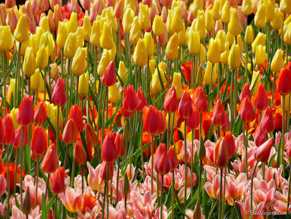 El jardín de tulipanes más grande del mundo en Holanda